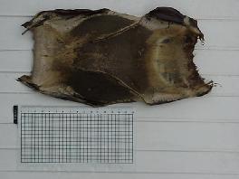 the dorsal side of the egg-capsule